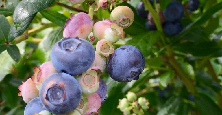 Paulus Orchards' Blueberry Festival helps CUREkids
